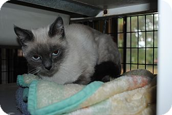Siamese Cat for adoption in Bay City, Michigan - Gracie