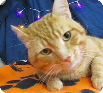 Domestic Shorthair Cat for adoption in Lloydminster, Alberta - Moon