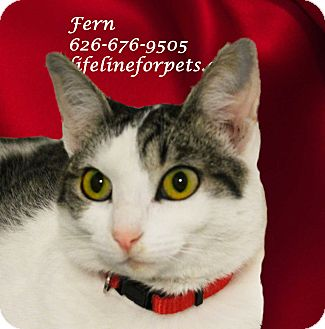 Domestic Shorthair Cat for adoption in Monrovia, California - A Young Female: FERN