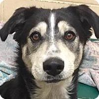 Adopt A Pet :: Lola - Springdale, AR