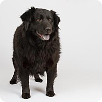 Adopt A Pet :: Bear - Richmond, VA