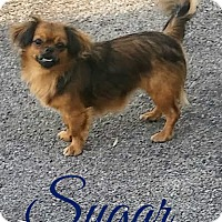Adopt A Pet :: Sugar - House Springs, MO
