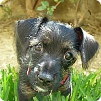 Adopt A Pet :: Lola - Adoption Pending - Vancouver, BC