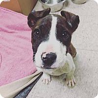 Adopt A Pet :: Auggie - Reisterstown, MD