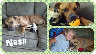 American Bulldog/Labrador Retriever Mix Dog for adoption in DOVER, Ohio - Nash
