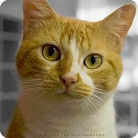 Domestic Shorthair Cat for adoption in Houston, Texas - HALO (LO LO)