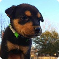 Adopt A Pet :: Mace - Rexford, NY