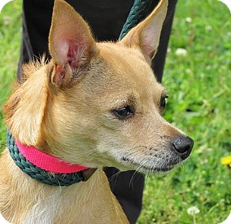 Chihuahua Mix Dog for adoption in Germantown, Maryland - Allie
