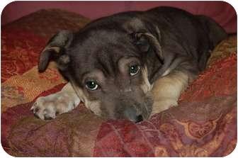 Shar Pei/Labrador Retriever Mix Puppy for adoption in Chula Vista, California - Wiggles