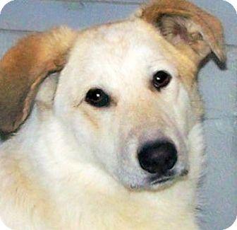 Golden Retriever/Labrador Retriever Mix Dog for adoption in Wakefield, Rhode Island - LUCY