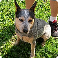 Adopt A Pet :: Dusty~Prison Obedience Trained - Hazard, KY