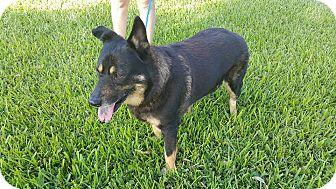 German Shepherd Dog/Belgian Tervuren Mix Dog for adoption in Homestead, Florida - Stella