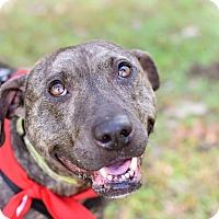 Boston Terrier Mix Dog for adoption in Summerville, South Carolina - Luna