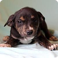 Adopt A Pet :: Joy - Waldorf, MD