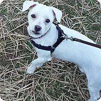 Adopt A Pet :: Snowball - Lombard, IL