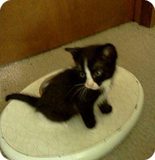 Domestic Shorthair Kitten for adoption in Columbus, Ohio - The Flash