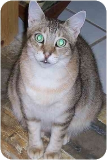Abyssinian Cat for adoption in Simms, Texas - Honey