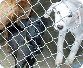Labrador Retriever Mix Puppy for adoption in East Rockaway, New York - Kiana