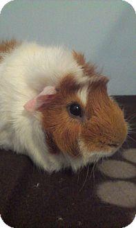 Guinea Pig for adoption in Pittsburgh, Pennsylvania - Duncan & Bradly