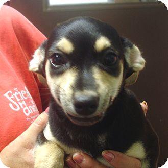 Chihuahua Mix Puppy for adoption in Greencastle, North Carolina - Regan