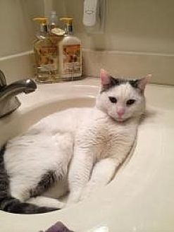 Domestic Shorthair Cat for adoption in Old Bridge, New Jersey - Pete