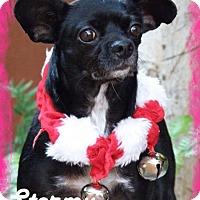 Adopt A Pet :: Stormy - Anaheim Hills, CA