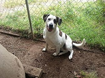 American Bulldog Mix Dog for adoption in Conway, South Carolina - Diva
