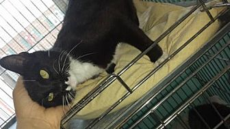 Domestic Mediumhair Cat for adoption in Iroquois, Illinois - Boots
