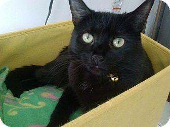 Domestic Shorthair Cat for adoption in Warren, Michigan - Miley