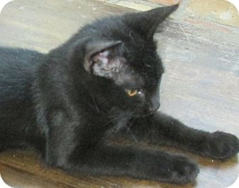 Domestic Shorthair Cat for adoption in Buhl, Idaho - Kenzy