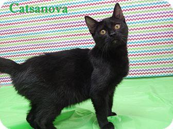 Domestic Shorthair Cat for adoption in Bucyrus, Ohio - Catsanova