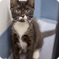Adopt A Pet :: Manowar - Merrifield, VA