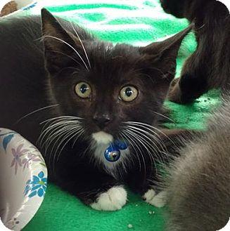 Domestic Shorthair Kitten for adoption in Bensalem, Pennsylvania - Hamilton