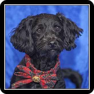 Poodle (Miniature)/Schnauzer (Miniature) Mix Dog for adoption in San Diego, California - Elsa