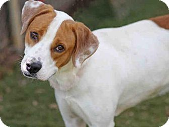 Foxhound/Pointer Mix Dog for adoption in Tallahassee, Florida - REMY