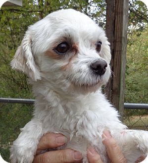 Maltese Dog for adoption in Crump, Tennessee - Charmin