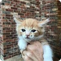 Adopt A Pet :: Opie - McKinney, TX