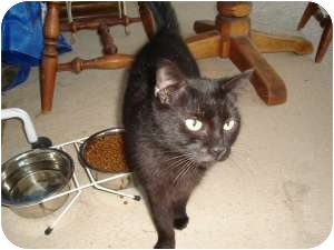 Bombay Cat for adoption in Ft. Lauderdale, Florida - Ebony