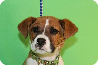 Boxer Mix Puppy for adoption in Broomfield, Colorado - Curly
