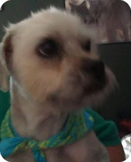 Shih Tzu/Poodle (Toy or Tea Cup) Mix Dog for adoption in Phoenix, Arizona - Xander - NON SHED