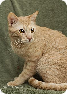 Domestic Shorthair Cat for adoption in San Antonio, Texas - Toasty