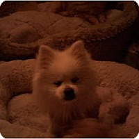 Adopt A Pet :: Snow Flake - Studio City, CA