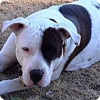 Adopt A Pet :: Kiera - Gilbert, AZ