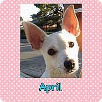 Adopt A Pet :: April - Toluca Lake, CA
