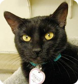Domestic Shorthair Cat for adoption in Mountain Center, California - Francie