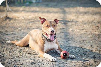 Pit Bull Terrier/Labrador Retriever Mix Dog for adoption in Gloversville, New York - Pilot