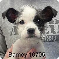 Adopt A Pet :: Barney - Greencastle, NC