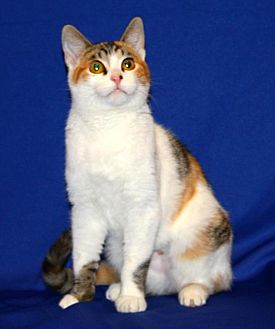 Calico Cat for adoption in Tracy, California - Lady DragonFly
