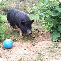 Adopt A Pet :: Lulu - Gettysburg, PA