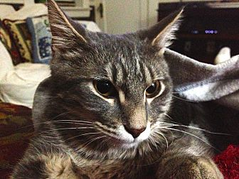 Domestic Shorthair Cat for adoption in St. Louis, Missouri - Andrew
